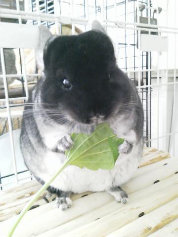 自家栽培のオオバコを食べる加奈ちゃん