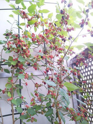 マルベリー(桑)収穫後20120602
