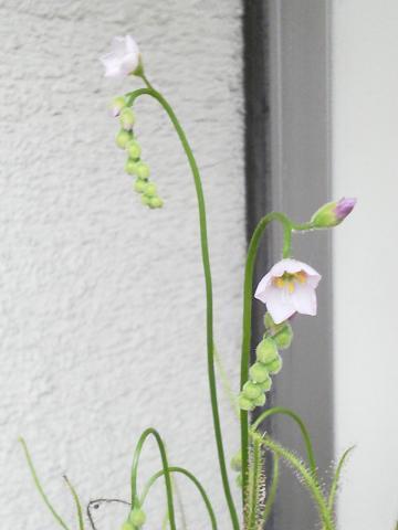 イトバモウセンゴケ 開花20120616