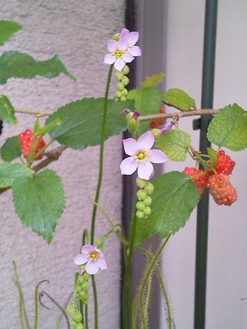 イトバモウセンゴケ 開花20120618