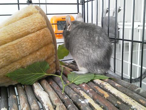"""ティノくん、""""生""""桑の葉を食べる"""