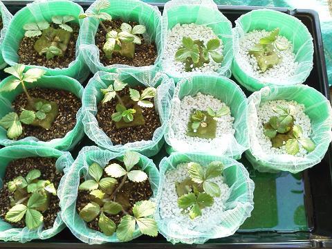 水耕栽培(ワイルドストロベリー)