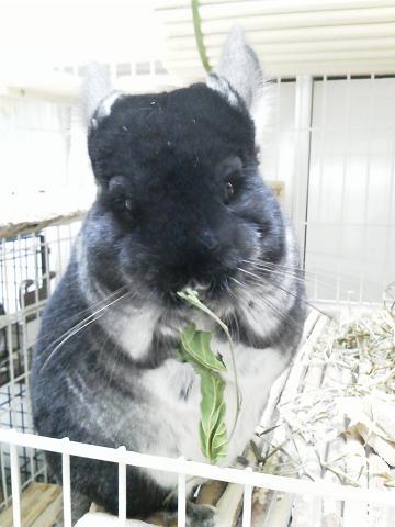加奈ちゃん、桑の葉を食べる