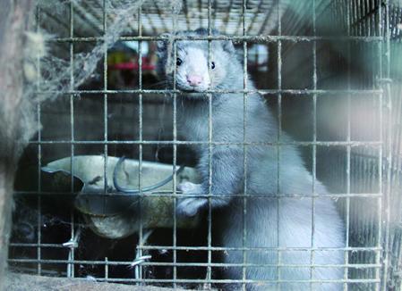 日本国内の毛皮産業のミンク