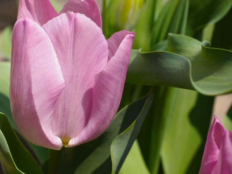 tulip0405.jpg