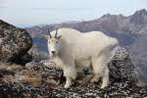 カシミアヤギ