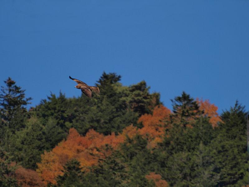 紅葉トンビ
