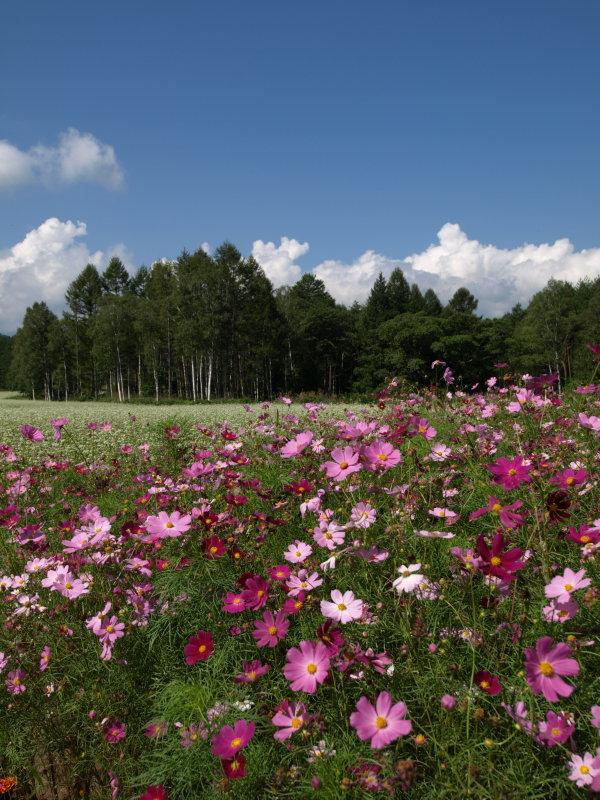 開田高原のコスモス