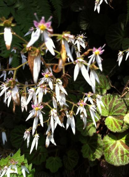 nikko flower