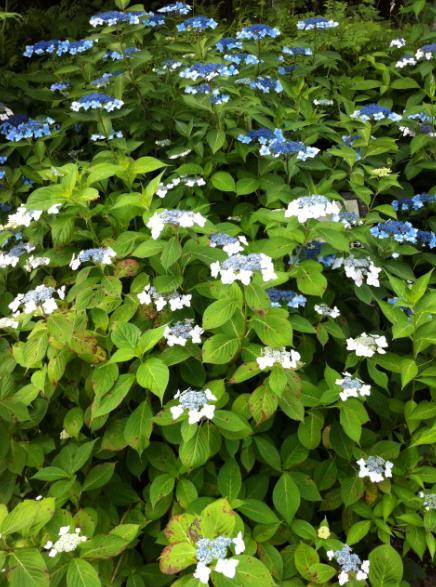 nikko gradation flowers