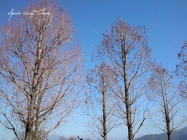 メタセコイアの木の実