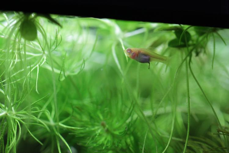 モーリーの稚魚