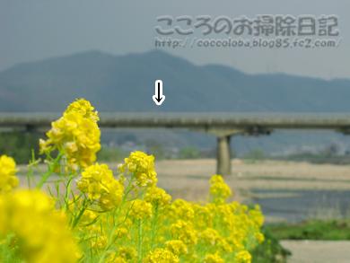 nanohana2-2012.jpg