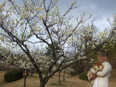梅の木③+ココ