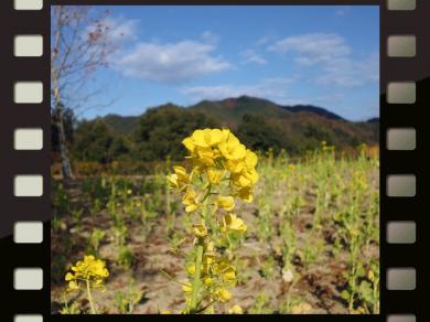 菜の花2013-1