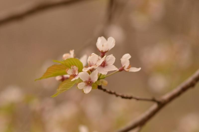 2013春 春咲小紅