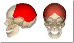 250px-Parietal_bone