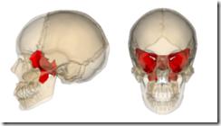250px-Sphenoid_bone
