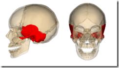 250px-Temporal_bone