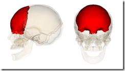 Frontal_bone