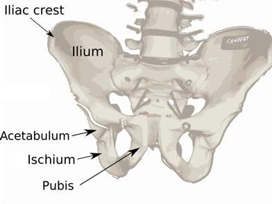 Pelvis_diagram
