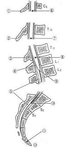 脊椎と脊髄のの各椎体の名称 [図解で解説] - +医療従事者と患者の広場+ ~看護師や作業/理学療法士etcの国家試験/解答速報、病気/怪我の治し方まで+