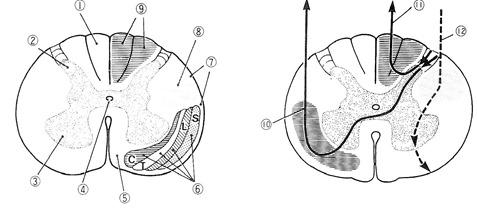 脊髄脊椎横断面の神経伝導路