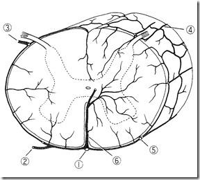脊髄脊椎横動脈