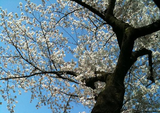 H公園 桜と青空