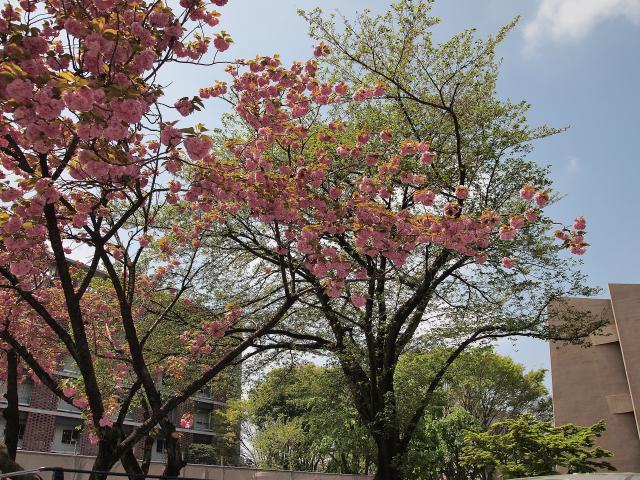 ③大学の八重桜