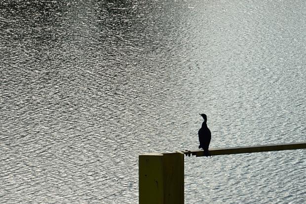①川面を見つめるクロサギ