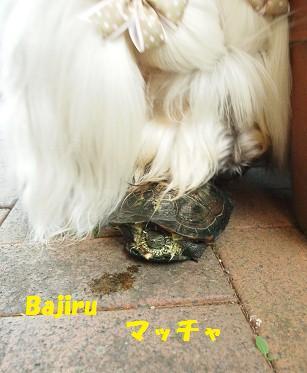 Bajiruマッチャ