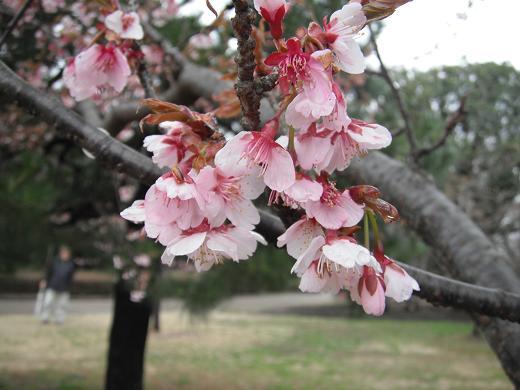 120324-21kanzakura01.jpg