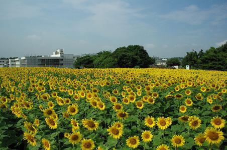 100731-01sun flower1