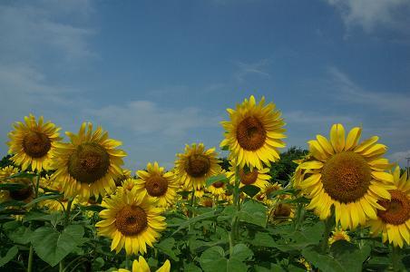 100731-03sun flower2