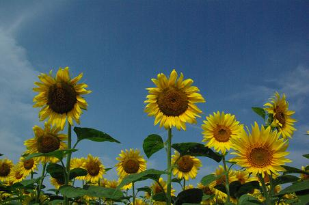 100731-04sun flower3