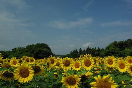 100731-05sun flower4