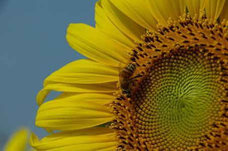 100731-07sun flower5
