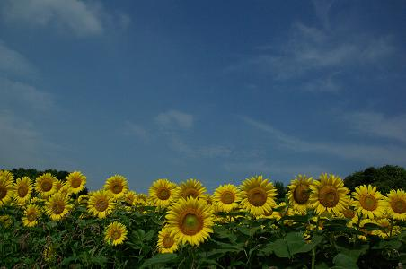 100731-09sun flower6
