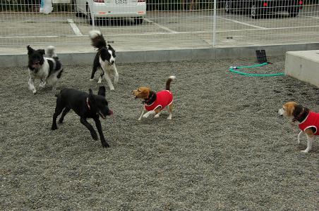 100808-05kuro lav,dogs,characooky