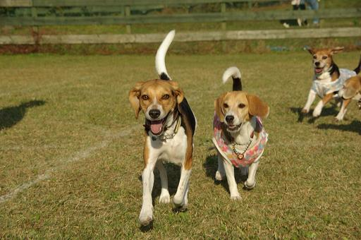 111029-34beagles run01