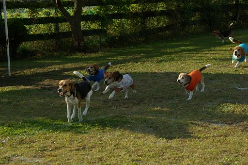 111029-36beagles run02