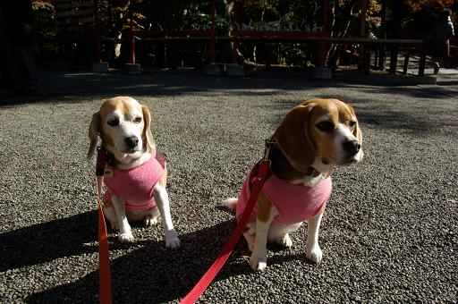 111210-27cookychra in tsurugaoka hachimangu