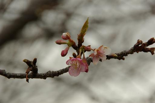 120226-21kawadu sakura