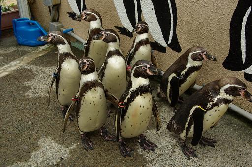 120503-10humboldti penguin