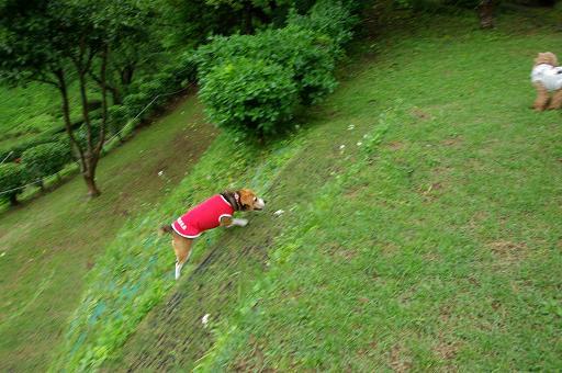 120503-28charaT poodle
