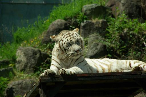 120504-17white tigaer