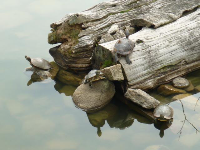 猿沢池の亀
