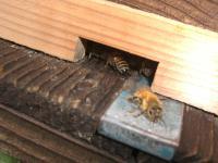 ハチ入り口
