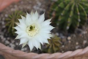 6.1サボテンの花